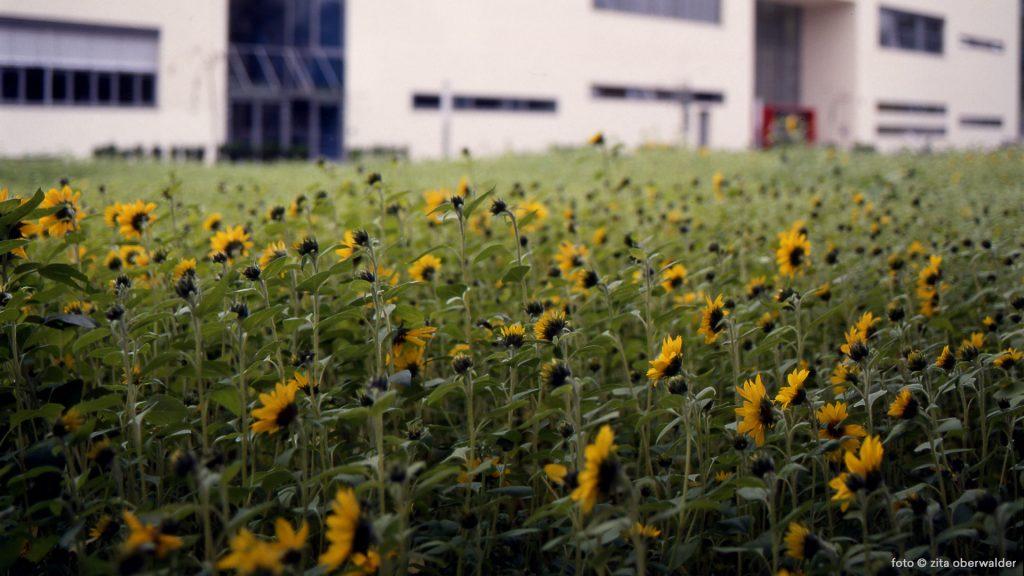 Temporäres Sonnenblumenfeld Campus Fachhochschule Graz Joanneum